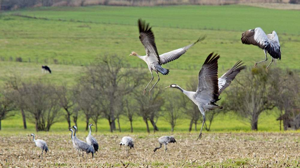 Ornithology, bird watching in the Champagne region (common cranes)